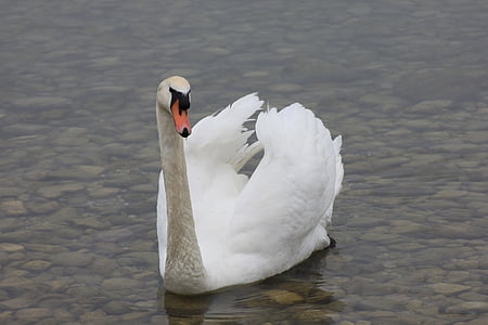 swan, lake, nature, white swan, bird, swans, white