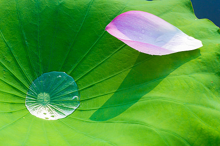 lotus, lotus leaf, flowering, flower, nature, leaf, plant