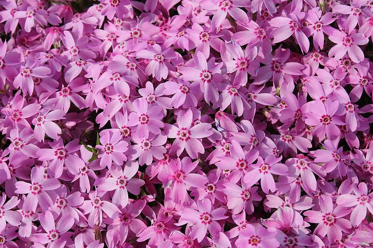 primavera, flor, flor, natura, flor, floració, flor