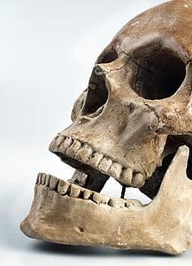 anatomy, Bone, cranium, face, head, jaw, skull