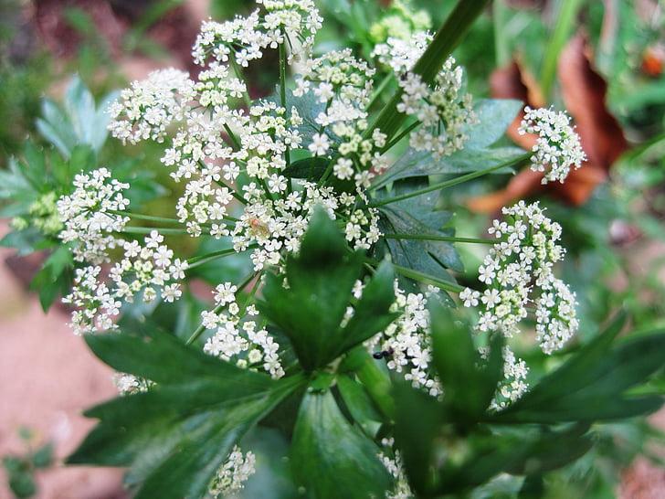 fiori pregiati, più fiori primavera, Dainty, spray bianco, fiori di sedano, verde, foglie