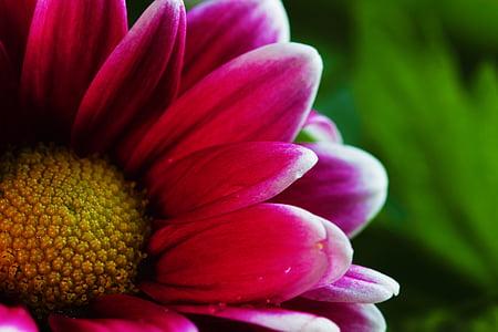 krüsanteem, lill, õie, taim, looduslik, suvel, Kaunis
