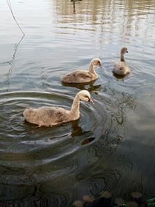 small, day, goose, bird, nature, lake, water