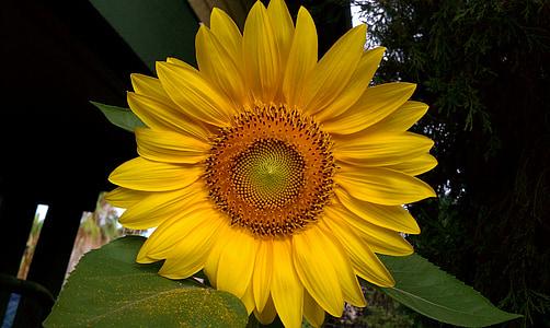 päevalill, lilled, Helianthus, päike, päevalilled, kollane, taimed
