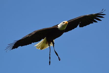 kalju kotkien, Wildpark poing, lentää, höyhenpeite, sulka, Adler, Raptor