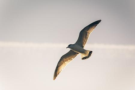 lintu, lokki, seevogel, lokki, yksi eläin, eläinten wildlife, Flying