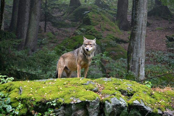wolf, pack leader, animal, bavarian national park, alpha dog, nature, forest