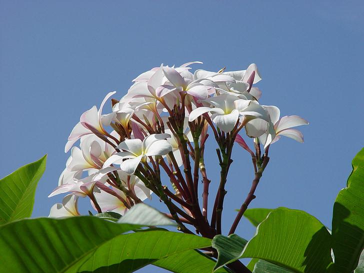 Живці квітів, квітка, червоного жасмину, білий, Природа, Флора, літо