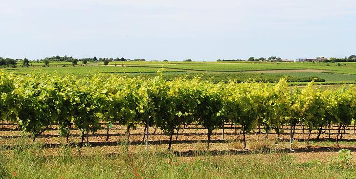 vine, vineyard, cep, grape, vines, cultivate, field