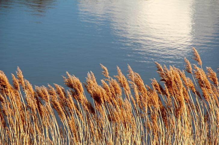 lake, pond, reed, water, waters