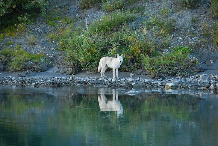 wolf, lone, predator, reflection, wildlife, nature, wild