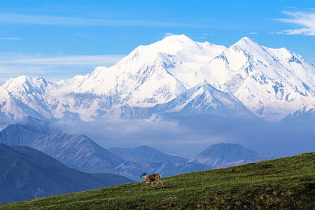 caribou, mountain, snow, landscape, wilderness, denali national park preserve, alaska