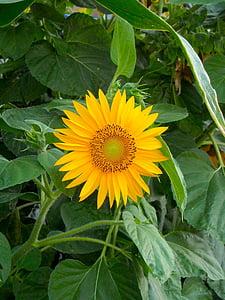 päevalill, lill, suvel, päevalilled, lilled, roheline, loodus