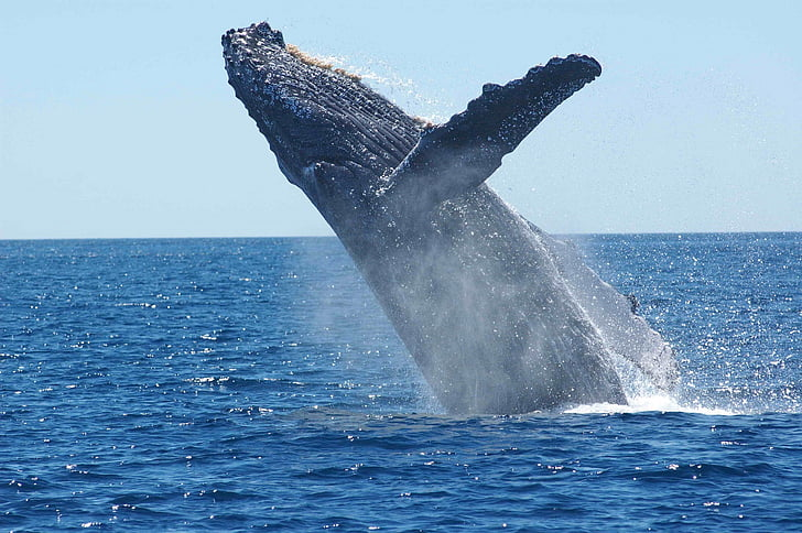 humpback whale, breaching, jumping, ocean, mammal, animal, sea