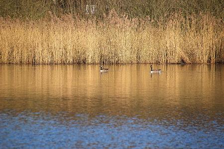 Lake, Reed, Linnut, pankki, lampi, Luonto, peilaus