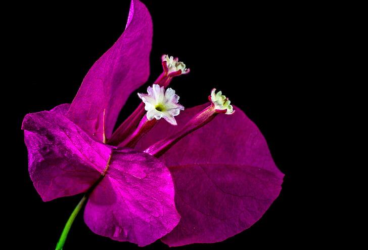 Бугенвиль, Блоссом, Блум, цветок, розовый