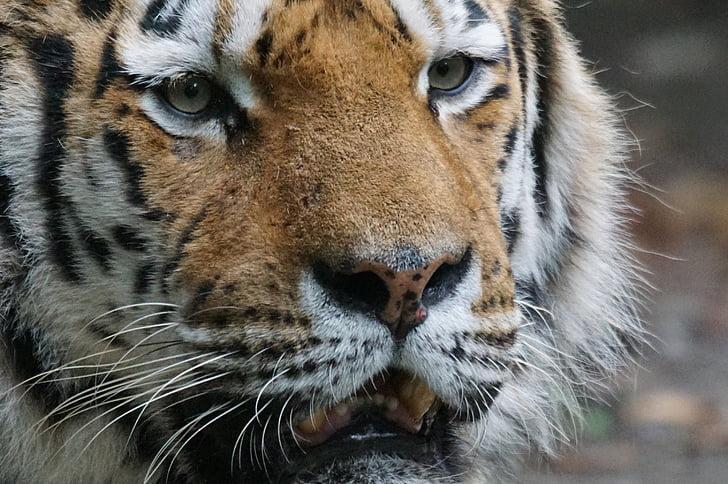 Тигр, закрити, Хижак