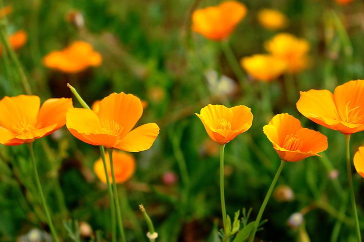 Papoila, Califórnia poppy, Eschscholzia Califórnia, flores