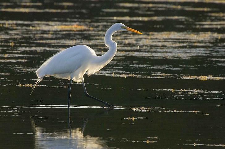 храна, Търсене, вода, чрез, Разходки, Чудесно, птица