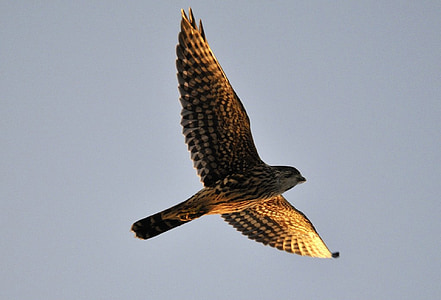 Merlin, Falcon, Raptor, Predator, Flying, Wildlife, Luonto