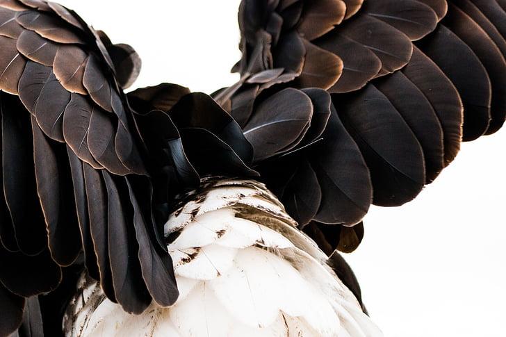 höyhenpeite, kalju kotka, Haliaeetusleucocephalus, Adler, Raptor, petolintu, lintu