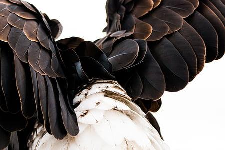 перушина, плешив орел, тежки от leucocephalus, Адлер, раптор, граблива птица, птица