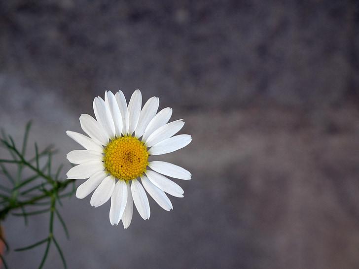 Margarida, flor, blanc, Camamilla, close-up, pètal, l'estiu