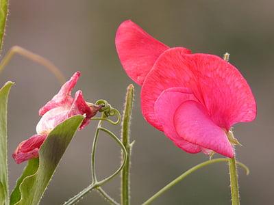 Wyka, Wyka, Bobowate, Bobowate właściwe, roślin strączkowych, czerwony, kwiat