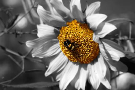 Hummel, Sun flower, Aed, päevalill, kollane, taim, seemned