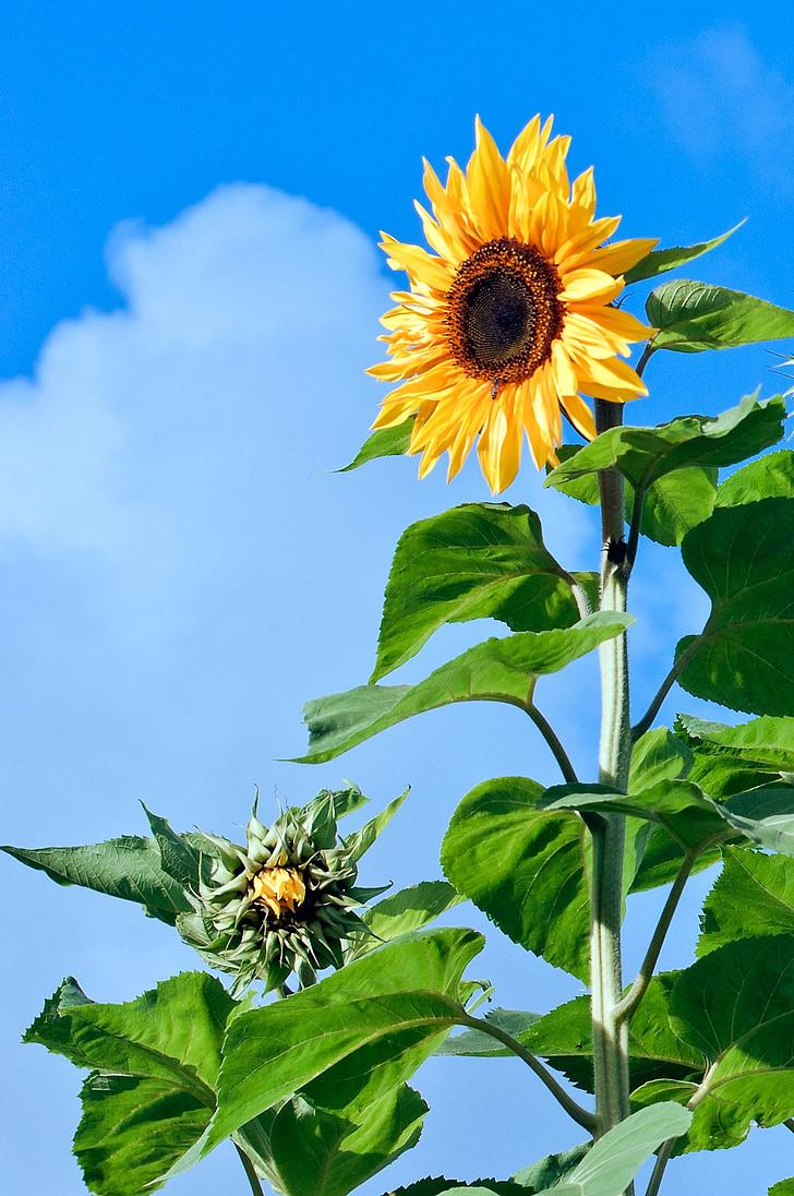 подсолнечник, цветок, цветочки, завод, желтый, Лето, Семена