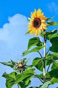päevalill, lill, õisikuteks, taim, kollane, suvel, seemned
