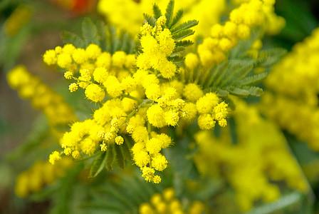 Mimosa, kevadel, kollane lill, loodus, kollane, taim, lill