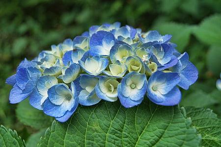 Hortènsia, blau, flor, planta, natura, l'estiu, floral