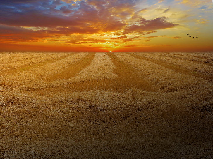 wheat field, cornfield, cereals, field, nature, landscape, sunset