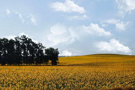 sunflowers, sunflower, nature, yellow, landscape, field, plant