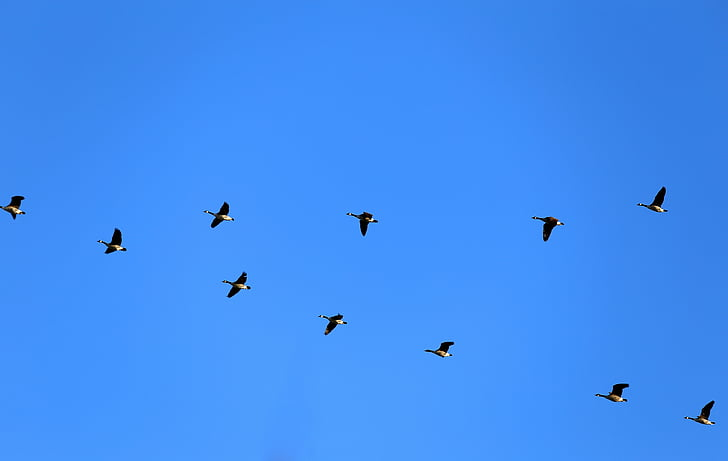 Gänse, Kanadagänse, fliegen, Vögel, Dash, Blau, Himmel