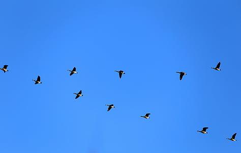 гъски, Канада гъски, лети, птици, Янев, синьо, Himmel