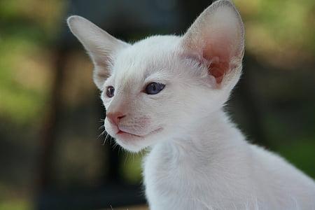 siamese cat, cat, kitten, cat baby, fur, charming, animal