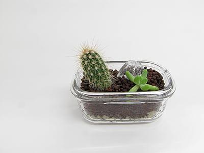 piante grasse, Cactus, pianta, verde, decorazione, pianta del deserto, pentola