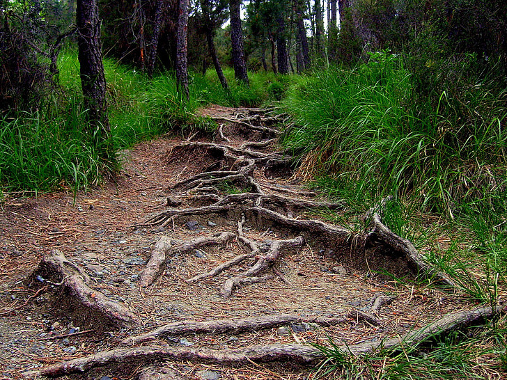 roots, forest, road, vegetation, tree, nature, woodland