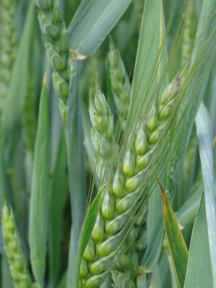 cereals, barley field, grain, cereal, field, ear, agriculture