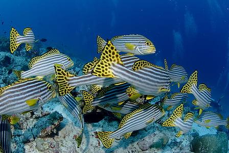 peix, Submarinisme, color, sota l'aigua, submarí, Mar, vida de mar