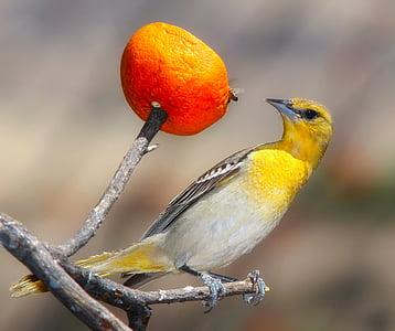 vuga, ptica, biljni i životinjski svijet, makronaredbe, krupne, boje, narančasta