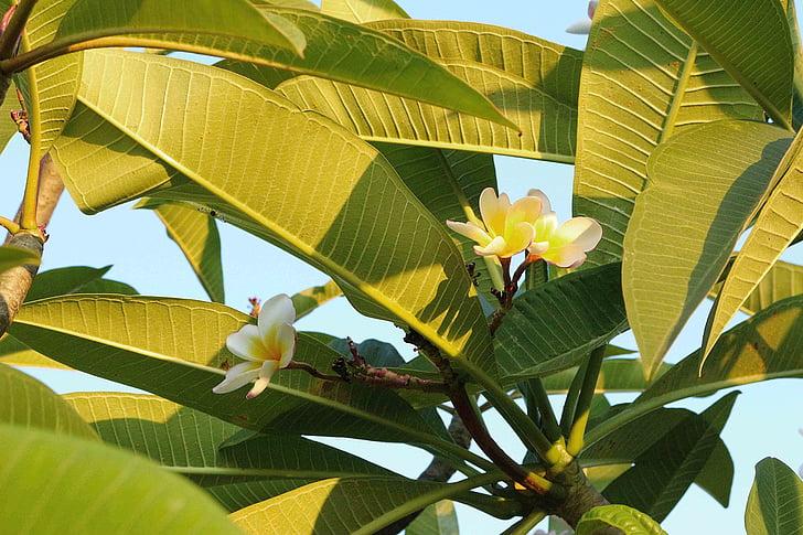 blomster, Frangipani blomster, hvid, efterårsblade, grøn, træ, natur