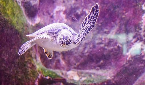 Морская черепаха, плавание, Подводный, морской, тропический, Дикая природа, Рептилия