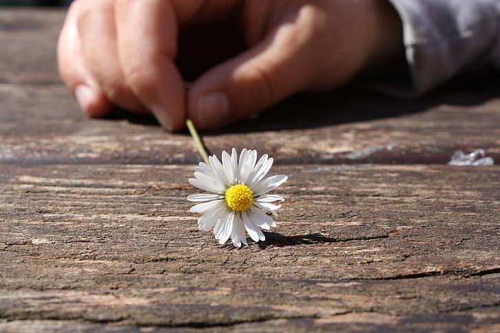 Margarida, flor, mà, connexió, fusta, taula, sort