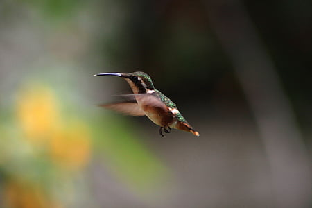 selektiv, fokus, fotografering, svart, brun, Hummingbird, djur