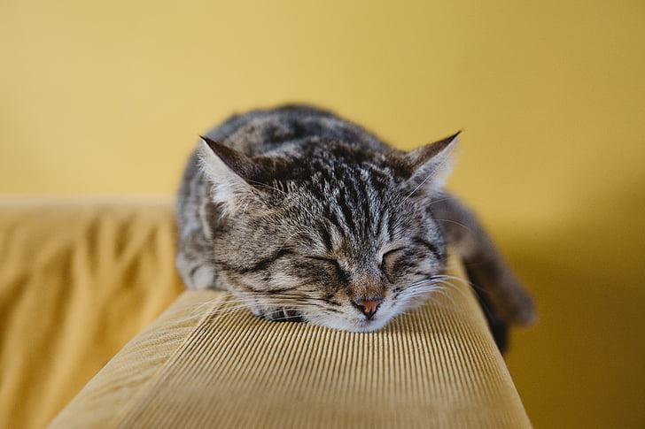 кішка, Симпатичний, тварини, дивані, Диван, спальний, відпочинок