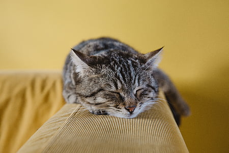 cat, cute, animal, couch, sofa, sleeping, rest