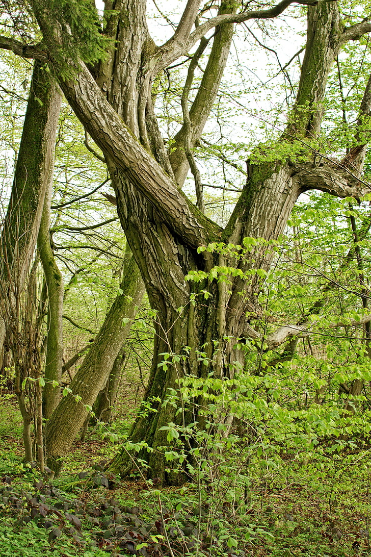 tree, individually, old, mystical, nature, green